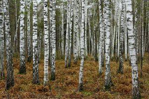 800px-Birches_near_Novosibirsk_in_Autumn