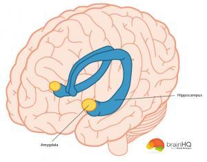 amygdala_0