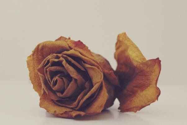 rose-1101140_960_720